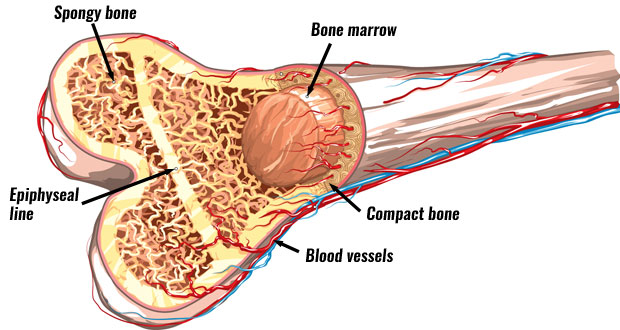 Structure of bone the skeleton bones anatomy physiology bone anatomy publicscrutiny Images