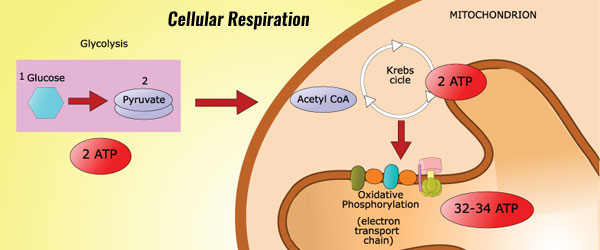 What are the sites of aerobic cellular respiration? - Quora