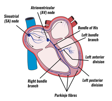 Conduction system of the heart explained heart conduction system ccuart Choice Image