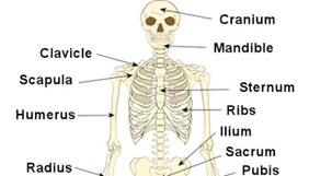 The skeleton bones anatomy physiology human skeleton ccuart Image collections