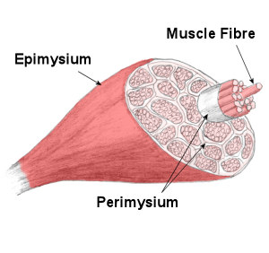 structure of skeletal muscle | muscles theory | muscles | anatomy, Muscles
