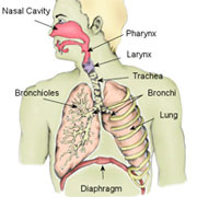The respiratory system diagram functions organs the function of the human respiratory system is to transport air into the lungs and to facilitate the diffusion of oxygen into the blood stream ccuart Choice Image