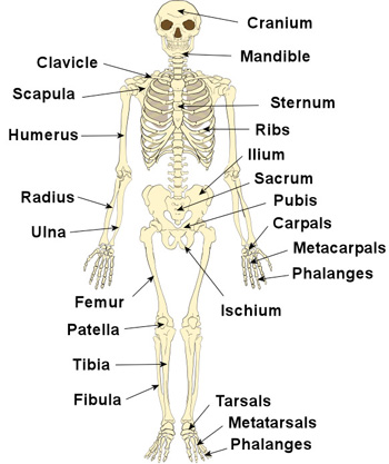 the human skeleton | the skeleton & bones | anatomy & physiology, Human Body