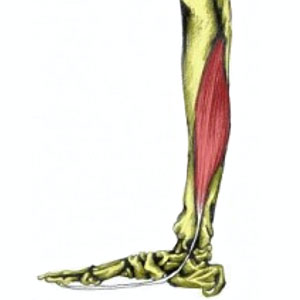 flexor hallucis longus | lower leg and ankle muscles | muscles, Cephalic Vein