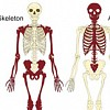 Axial & Appendicular Skeleton