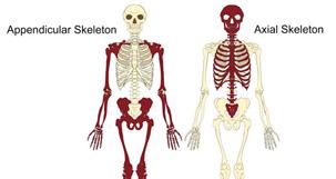 the skeleton bones anatomy physiology