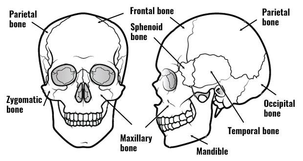 bones of the skull620 bones of the skull bones of the cranium and face