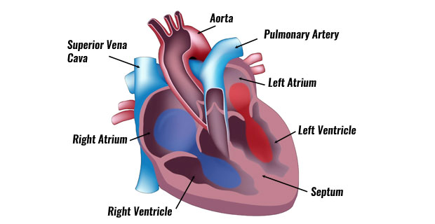The Human Heart The Circulatory System Anatomy Physiology