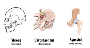 The Skeleton & Bones   Anatomy & Physiology