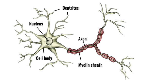 Nerve Propogation. Nerve propagation is the way in ...