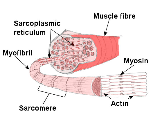 Structure Of Skeletal Muscle Main Muscle Structure In Detail