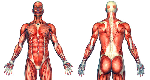 muscles the human body anatomy physiology