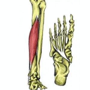 flexor digitorum longus