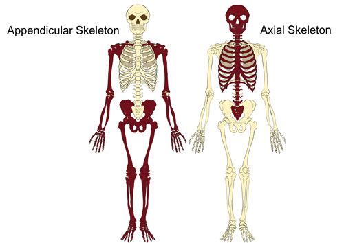 Image result for axial skeleton