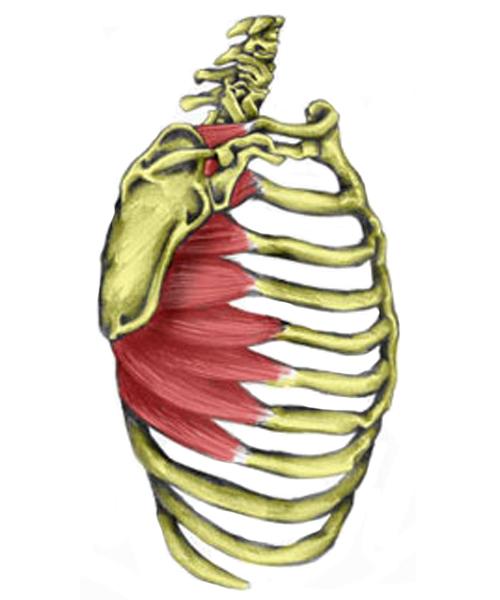 Serrtus anterior muscle