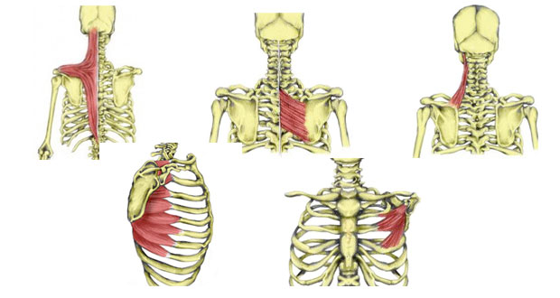Shoulder girdle muscles