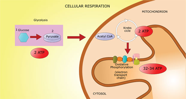 Cellular Respiration How Cells Turn Food Into Energy