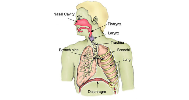The Respiratory System - Diagram, Structure & Function