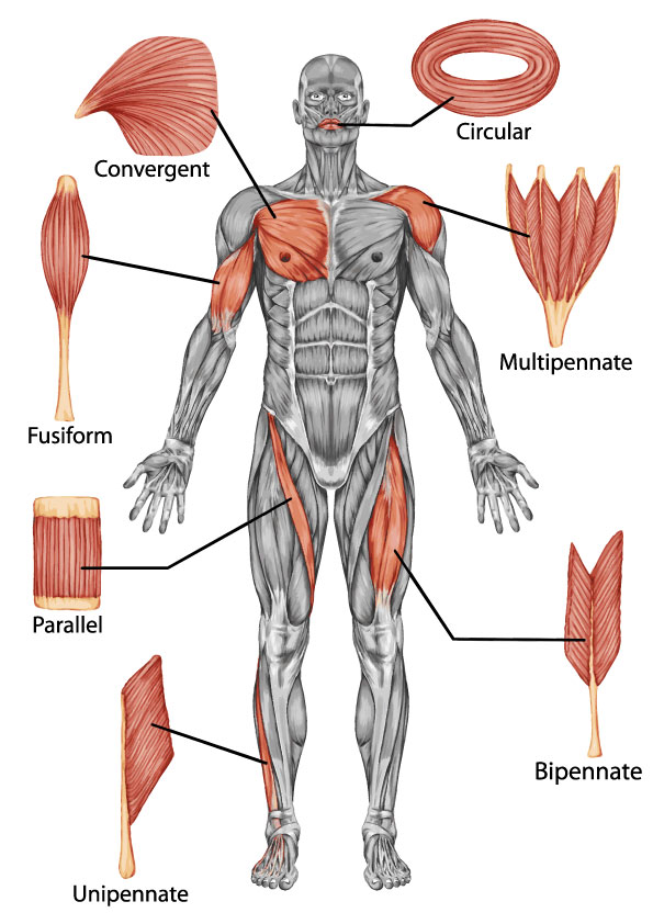 Shapes of skeletal muscle