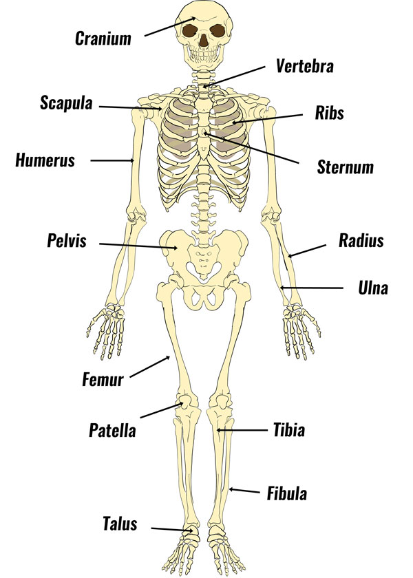 GCSE PE Bones of the skeleton
