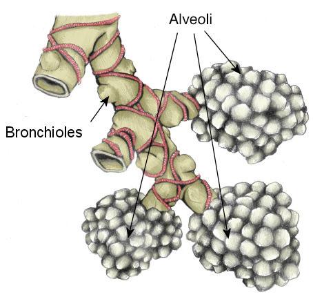 Alvioli