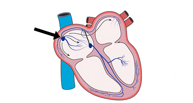Heartbeat Cardiac Conduction System How The Heart Contracts