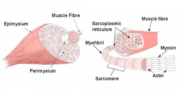 Skeletal muscle structure, muscle anatomy